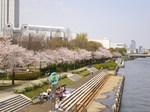 sakura run @shiratoriC.jpg
