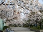 sakura run @shiratoriD.jpg